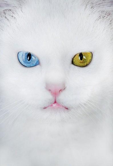 ワン猫をトルコではじめて見たよ♪泳ぐヴァン猫動画